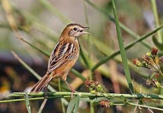 Mengetahui Jenis Jenis Burung Kicau Kecil Yang Populer Di Kalangan Kicau Mania Paling Lengkap