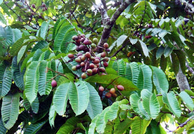 Hasil gambar untuk tanaman buah matoa manfaat