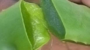 Aloe Vera is a juicy plant