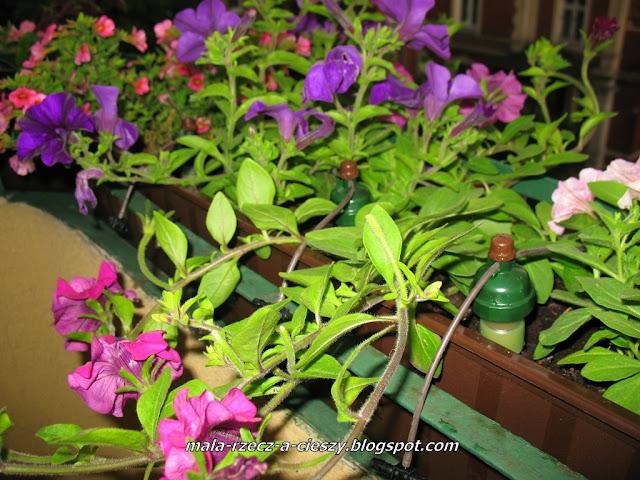 Jak dbać o kwiaty na balkonie w czasie urlopu? Testowanie samonawadniającego systemu Tropf-Blumat (filmik)