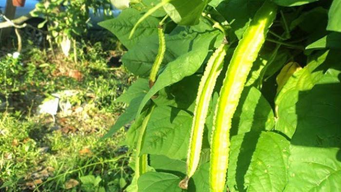 cara budidaya kecipir, cara menanam tanaman kecipir, budidaya kecipir secara intensif