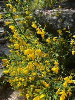 [Fabacease] Cytisus scoparius – Scotch Broom (Ginestra dei carbonai).