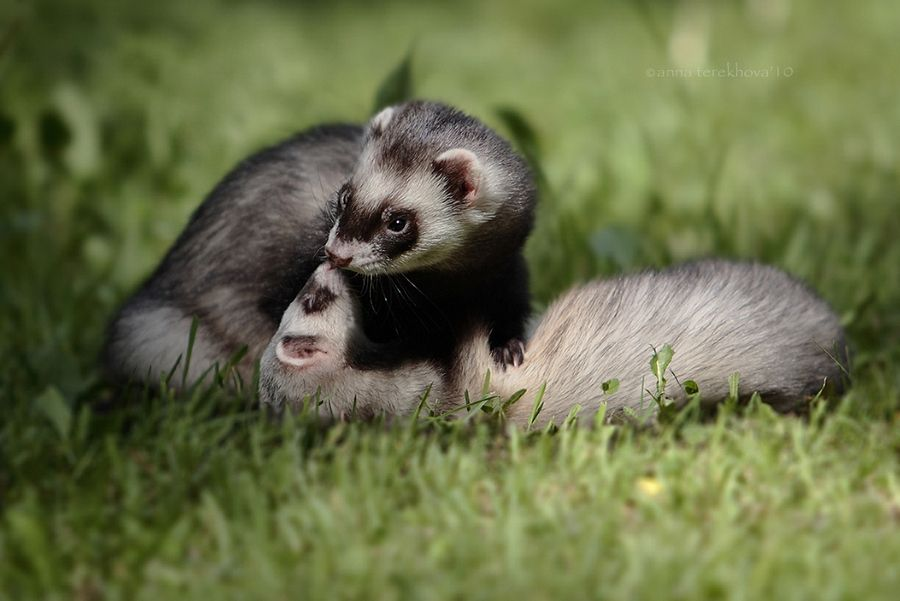 4. Ferret love by Anna Terekhova