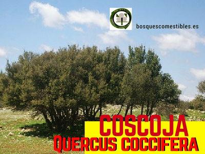 Coscoja, Quercus coccifera, es un pequeño árbol que suele ramificarse abundantemente.