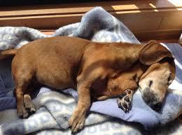glóbulos vermelhos em cães