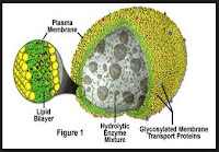 Pengertian, Persamaan dan Fungsi Bagian-Bagian Membran Sel, Sitoplasma dan Organel Sel pada Sel Tumbuhan dan Hewan