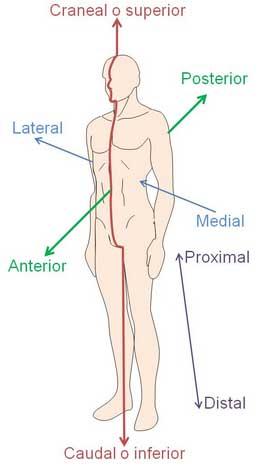 Posiciones Anatómicas | APUNTES AUXILIAR ENFERMERIA