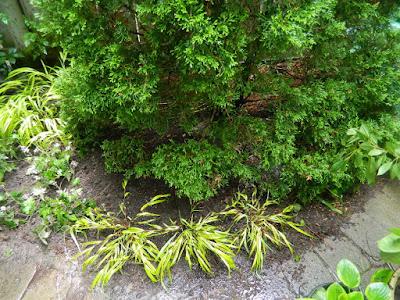 Toronto Cabbagetown shade garden makeover after Paul Jung Gardening Services