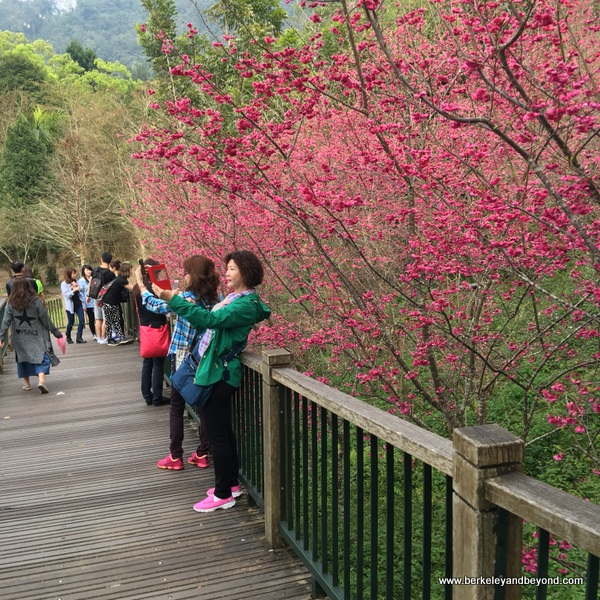 making selfies among the cherry blossoms at Sun Moon Lake National Scenic Area in Yuchi Township, Nantou County, Taiwan