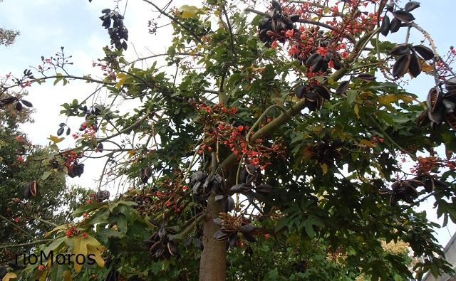 Árbol de la llama Brachychiton x roseus