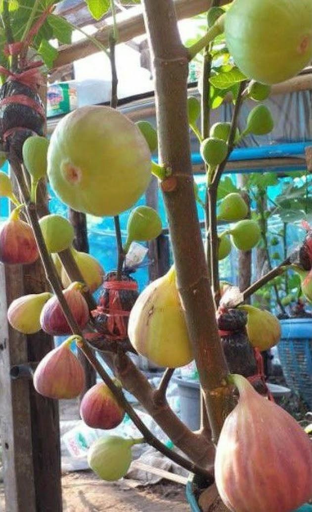 Bibit buah tin Jumbo Red Palestine sangat produktif Sulawesi Utara