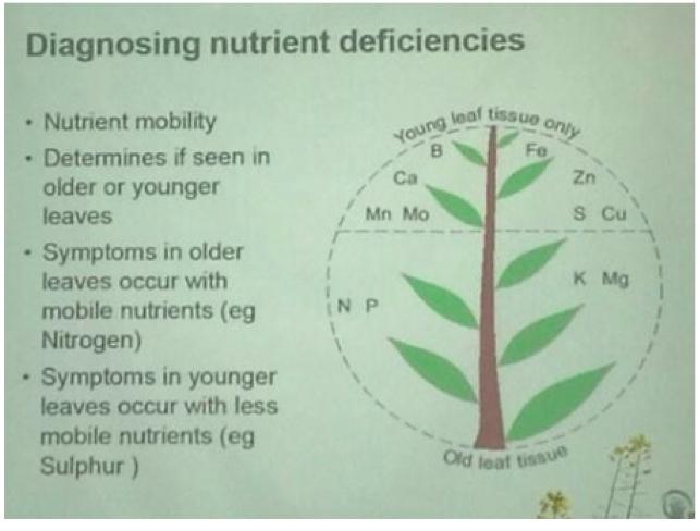 Cannabis Leaf Symptoms & Plant Problems   Marijuana Nutrient Deficiencies
