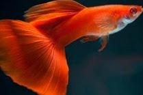 5 Jenis Penyakit Pada Ikan Guppy Peliharaan Anda