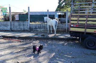 white horse, small dog, Santiago de Puriscal