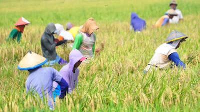 pengering jagung, pengering padi, pengering gabah