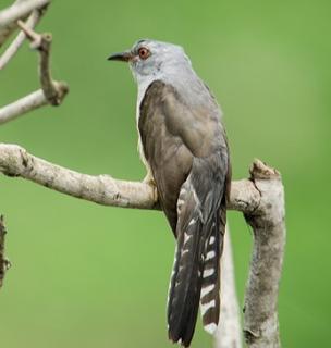 Kanduksupatra Engkik Engkik Engkirr Misteri Burung Kedasih Menjelang Sasih Kedasa