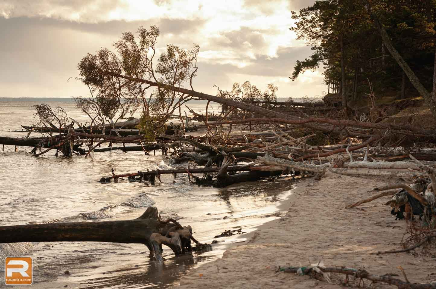 Jūras izskalotie koki