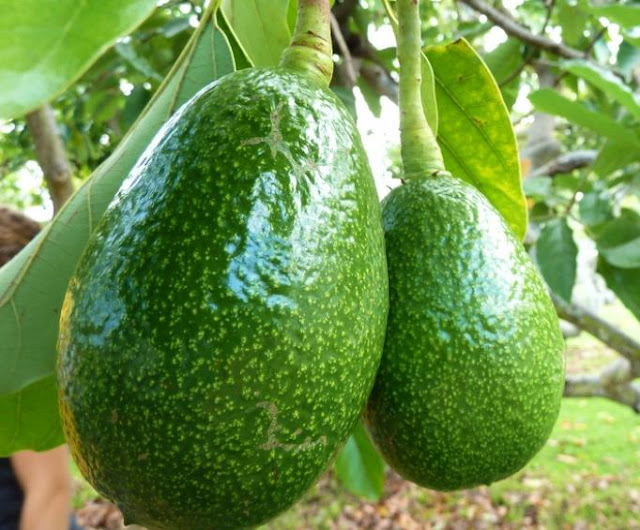 Avocado, the new fruit tree of the Albanian gardens