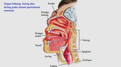 bagian-bagian hidung, faring dan laring pada sistem pernafasan manusia