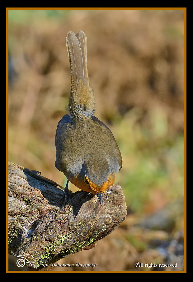 Erithacus rubecula - http://1000-pattes.blogspot.com