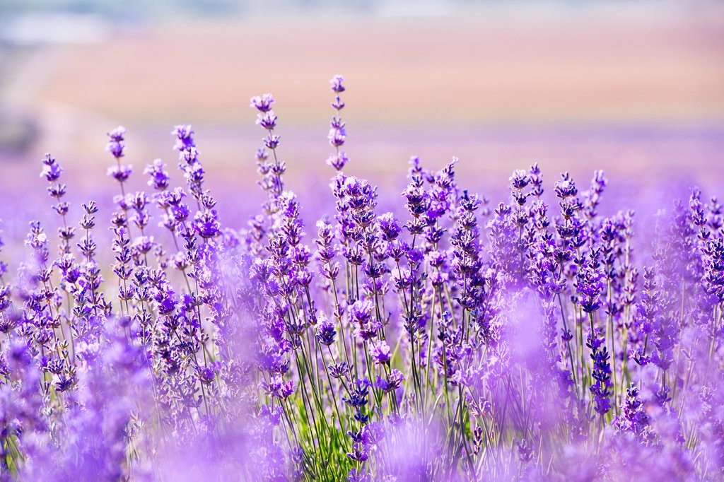 lavender field desktop background