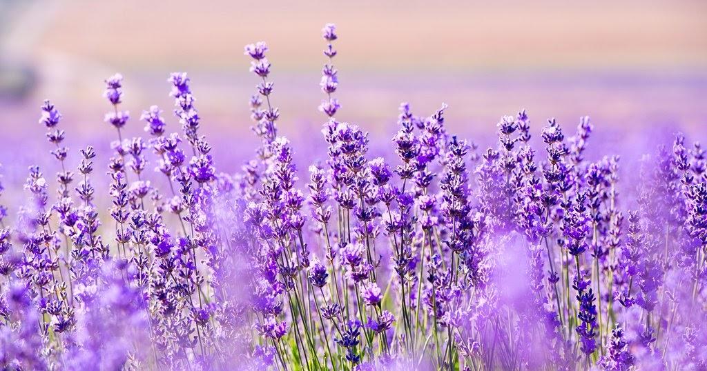45 Gambar Pemandangan Bunga Lavender