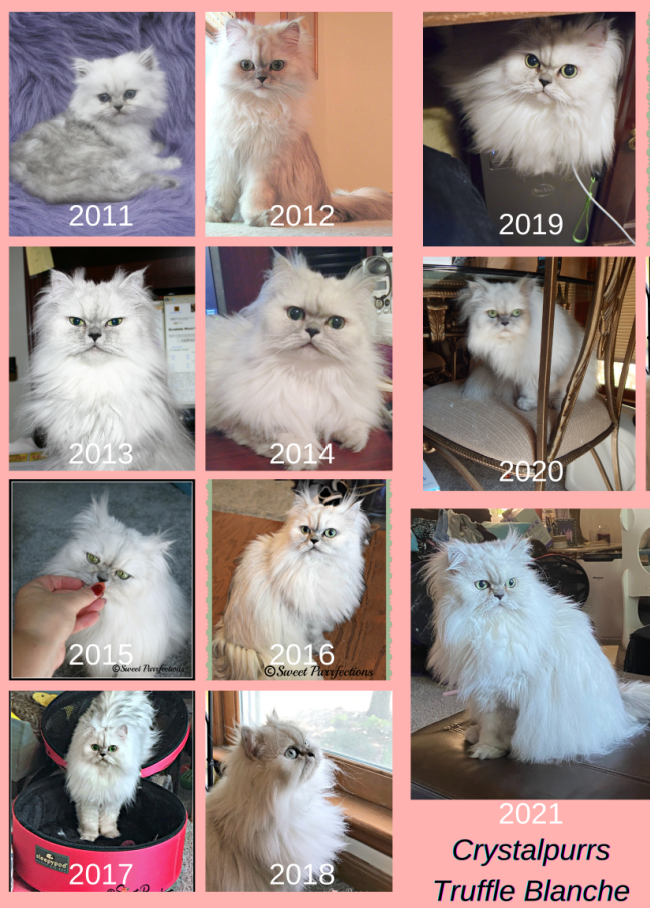 10 photos of Truffle, a silver shaded Persian Cat, for each year she's been alive
