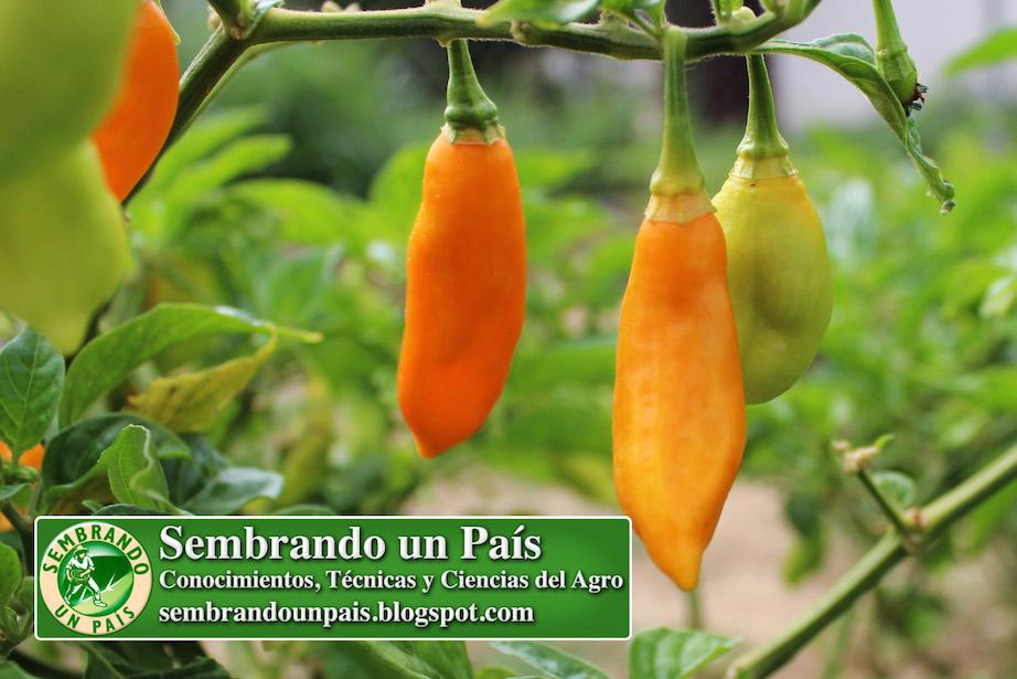 Frutos de Ají Picante
