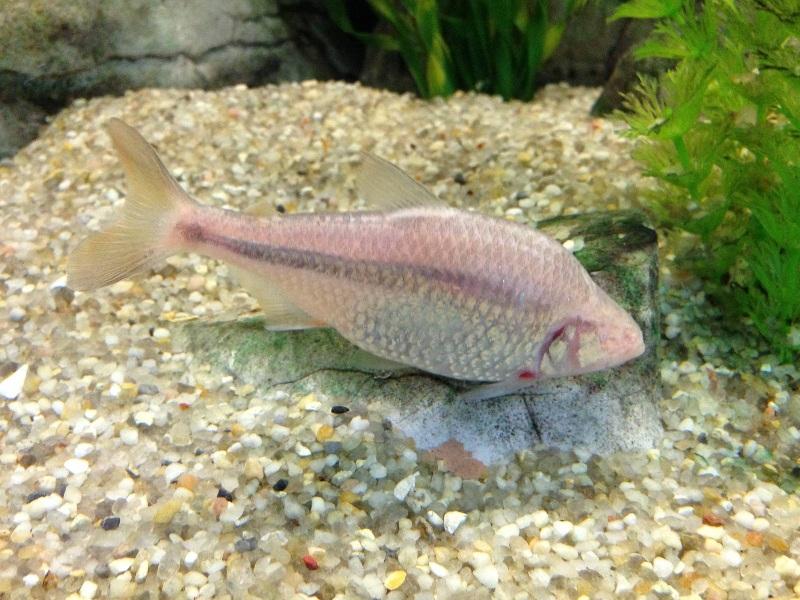 Gambar Ikan Hias Mata Buta (Blind Cave Characin)
