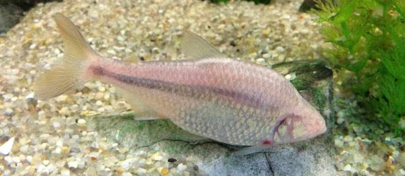 Budidaya Ikan Hias Mata Buta (Blind Cave Characin)