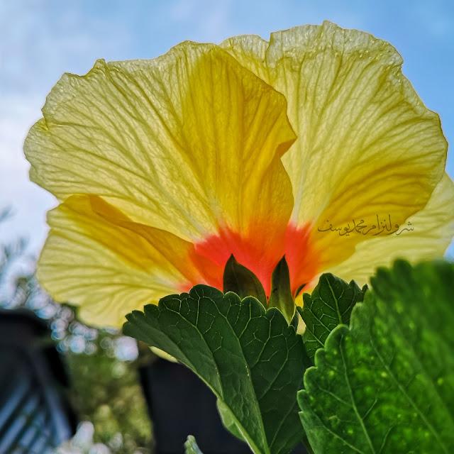 Hawaiian Hibiscus, Bunga Raya Kuning 3