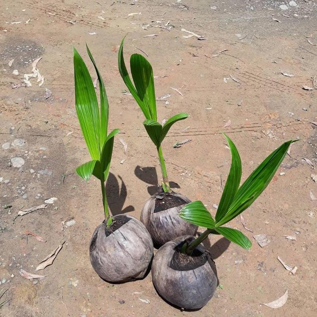bibit kelapa hibrida genjah Bandung