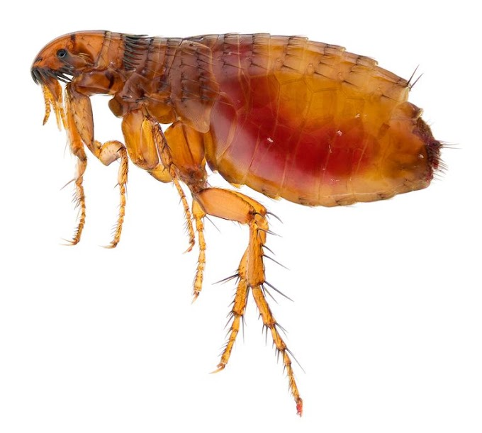 The Best Tips for Getting rid of Fleas