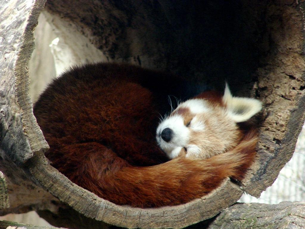 Daily Dose Of Cute Red Panda Sleeping