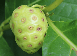 12 + benefits of Mengkudu fruit and things to note