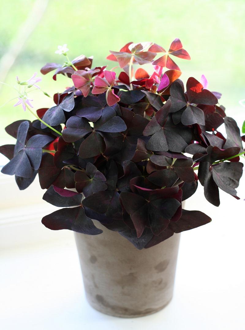 Hojas púrpura y flores rosadas de Oxalis triangularis subsp. papilionacea
