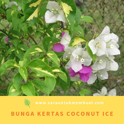 Bugenvil Coconut Ice