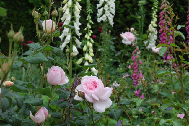 rozen en digitalis