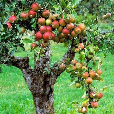 Pohon Apel dan Anak Lelaki