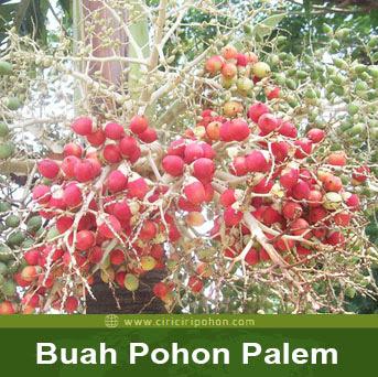 ciri cri pohon buah palem