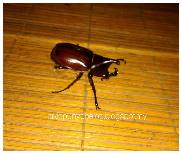 Kumbang tanduk : Spesis kumbang yang paling digeruni masa sekolah rendah dulu.
