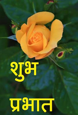 शुभ प्रभात yellow rose