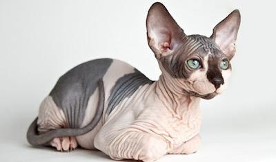 Tüysüz Kedi Irkları