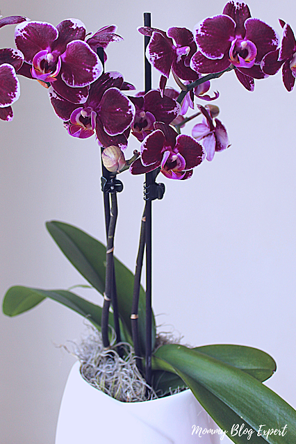 Westerlay Gemstone Orchids Potted Plant