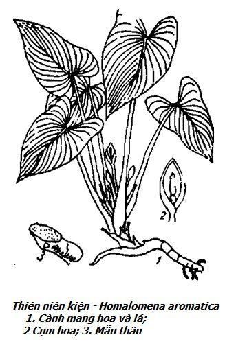 Hình vẽ cây Thiên niên kiện - Homalomena aromatica - Nguyên liệu làm thuốc Chữa Tê Thấp và Đau Nhức
