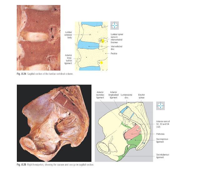 Sagittal section of the lumbar vertebral column.
