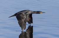 Reed Cormorant in Flight Woodbridge Island, Cape Town - Canon EOS 7D Mark II Copyright Vernon Chalmers