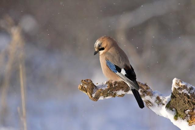اجمل طائر في الثلج خلفيات طيور