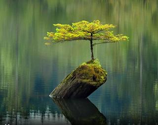 Foto em dia claro, fundo verde desfocado. Em um lago, um pequeno tronco limoso e inclinado emerge na superfície, na parte superior, um bonsai (árvore em miniatura) com delicados galhos horizontais na base da copa verde claro mais densa à esquerda e no topo, outros levemente direcionados ao alto.