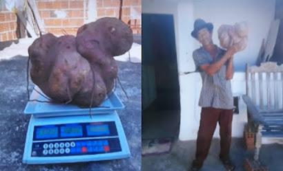 Batata gigante, com mais de 13 quilos, vira atração no interior da Paraíba